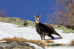 Chamois (Rupicapra rupicapra) in the Alps. During winter Stock Photos