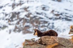 Chamois (Rupicapra rupicapra) in the Alps. During winter Royalty Free Stock Image