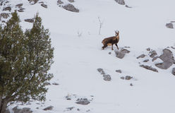 Chamois at a snowed mountain slope Stock Images