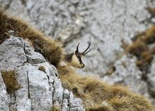 Chamois (Rupicapra rupicapra) Stock Photography