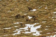 Chamois (Rupicapra rupicapra) herd, eating grass Stock Photo