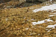 Chamois (Rupicapra rupicapra) herd, eating grass Royalty Free Stock Photos