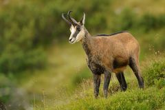 Chamois - Rupicapra rupicapra Royalty Free Stock Photography