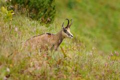 Chamois - Rupicapra rupicapra Stock Photos