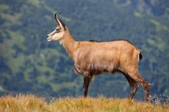 Chamois - Rupicapra rupicapra on the mountain meadow Stock Images