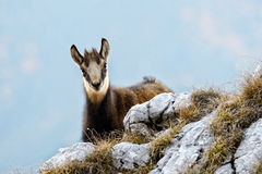 Chamois (rupicapra rupicapra) Royalty Free Stock Photography