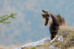 Chamois (rupicapra rupicapra) Stock Photos
