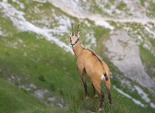 Chamois ( Rupicapra rupicapra) Royalty Free Stock Images