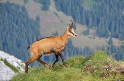 Chamois ( Rupicapra rupicapra) Royalty Free Stock Image