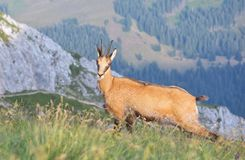 Chamois ( Rupicapra rupicapra) Royalty Free Stock Photography