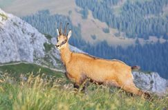 Chamois ( Rupicapra rupicapra) Royalty Free Stock Photo