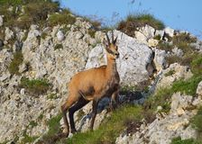 Chamois ( Rupicapra rupicapra) Stock Photography
