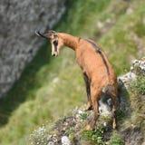 Chamois rupicapra rupicapra Stock Image