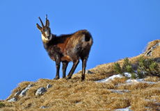 Chamois. (rupicapra rupicapra) mountain goat in natural habitat, Carpathian Mountains in Romania Royalty Free Stock Images