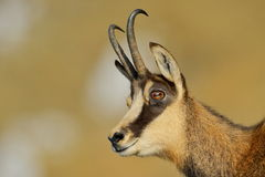Chamois (rupicapra rupicapra) Royalty Free Stock Images