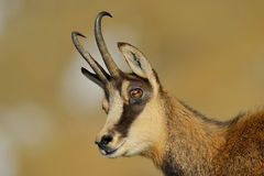 Chamois (rupicapra rupicapra) Royalty Free Stock Photo