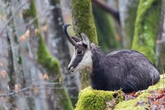 Chamois - rupicapra rupicapra - resting in the moss stock photos