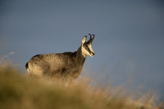 Chamois, Rupicapra rupicapra Stock Images