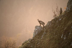 Chamois, Rupicapra rupicapra Royalty Free Stock Images