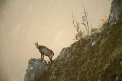 Chamois, Rupicapra rupicapra Stock Photography