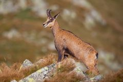 Chamois, rupicapra rupicapra, standing majestically on rocks in high mountains. Summer wildlife picture of wild mountain animal royalty free stock photos