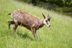 Chamois walking on grass Royalty Free Stock Images