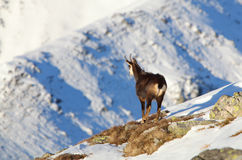 Chamois - rupicapra, Tatras Stock Image