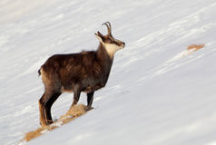 Chamois - rupicapra, Tatras Stock Photos