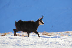 Chamois - rupicapra, Tatras Stock Images