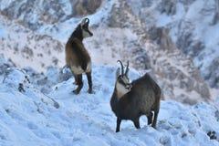 Chamois, rutting chamois, high tatras, tatra nature, carpathian chamois Royalty Free Stock Image
