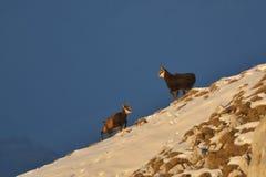 Chamois, rutting chamois, high tatras, tatra nature, carpathian chamois Stock Photography