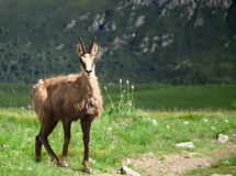 Chamois in Slovakia Mountains Royalty Free Stock Photography