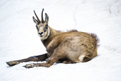 Chamois on the snow Stock Image
