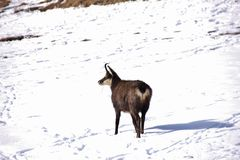 Chamois in the snow, Valnontey, Italy. Chamois Rupicapra rupicapra in the snow in Valnontey, Aosta Valley, Italy Royalty Free Stock Photos