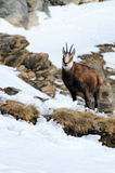 Chamois on snowy mountain royalty free stock images