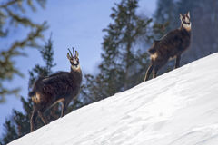 Chamois on a snowy slope Royalty Free Stock Photography