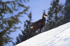 Chamois on a snowy slope Royalty Free Stock Images