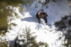 Chamois staring Royalty Free Stock Photography