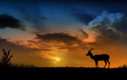 Chamois and sunset Stock Photo