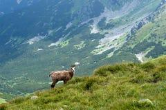 Chamois sur l'arête de montagne Images libres de droits