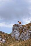 Chamois sur le dessus d'une roche Images libres de droits