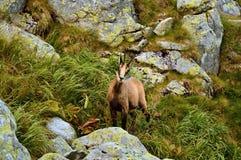 Chamois. Tatra chamois. Rupicapra rupicapra tatrica. Chamois in their natural habitat. High Tatras National park in Slovakia Royalty Free Stock Photos