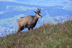 Chamois in Tatra mountains on August 2014 Stock Image