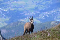 Chamois in Tatra mountains on August 2014. Chamois in Tatra mountains (Poland) on AUGUST 2014 Royalty Free Stock Image