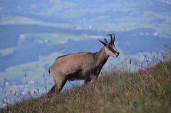 Chamois in Tatra mountains on August 2014. Chamois in Tatra mountains (Poland) on AUGUST 2014 Royalty Free Stock Photos