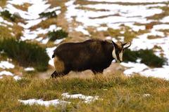 Chamois. Tatra chamois. Rupicapra rupicapra tatrica. Chamois in their natural habitat. High Tatras National park in Slovakia Stock Image