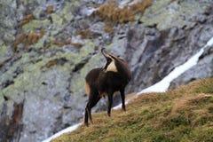 Chamois. Tatra chamois. Rupicapra rupicapra tatrica. Chamois in their natural habitat. High Tatras National park in Slovakia Stock Images