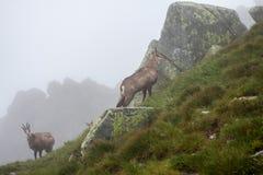 Chamois. In Tatras Stock Photography