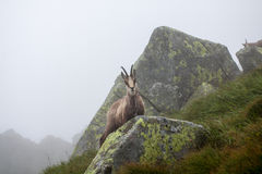 Chamois. In Tatras Royalty Free Stock Image