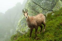 Chamois. In Tatras Stock Photo